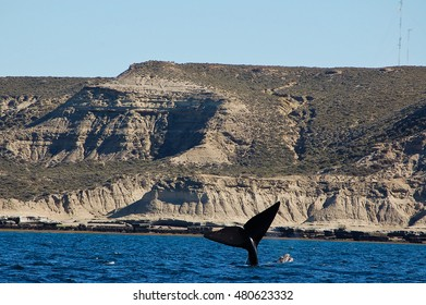 the beautiful whales in the Valdes Peninsula in Argentina,animal