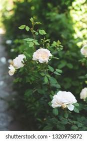 Beautiful whBeautiful white roses.ite roses.
