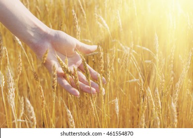 Beautiful wheat ears in the young woman hand.Harvest concept. Sunlight