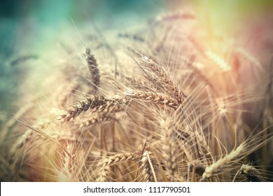 Beautiful wheat field, ripe wheat field, it is time for harvest