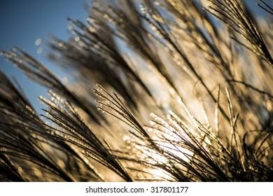 Beautiful Wheat Field at Sunset