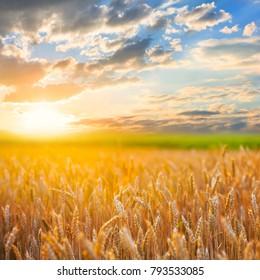 beautiful wheat field at the sunset