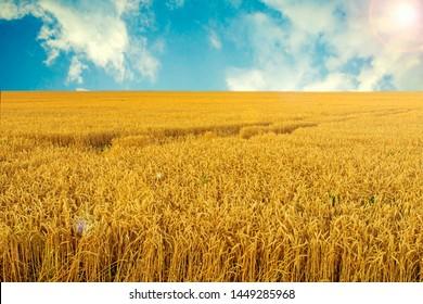 Beautiful wheat landscape on a Sunny day. Blue sky. Ripe wheat.