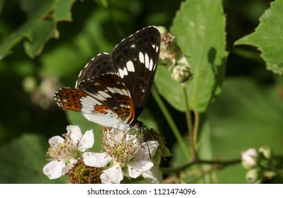 A beautiful White Admiral Butterfly (Limenitis camilla) nectaring on a blackberry flower in woodland.