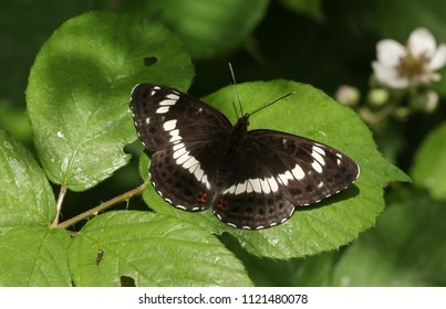 A beautiful White Admiral Butterfly (Limenitis camilla) perching on a blackberry leaf in woodland.