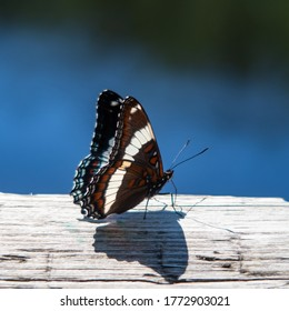 beautiful-white-admiral-butterfly-limeni