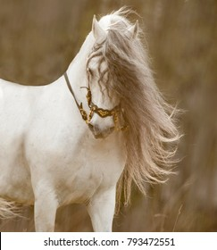 beautiful white andalusian horse portrait with long grey mane in backlight