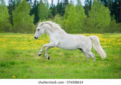 Beautiful white andalusian horse running on the field with dandelions