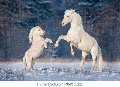 Beautiful white andalusian stallion playing with little shetland pony in winter