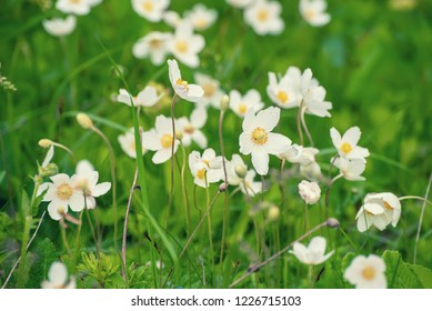 Beautiful white anemona flowers growing on the meadow in spring time, natural outdoor seasonal soft background