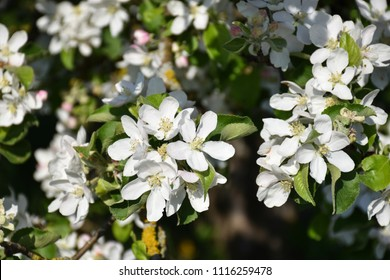 Beautiful white apple tree flowers closeup