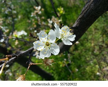 beautiful white apricot blossoms in the sunshine.