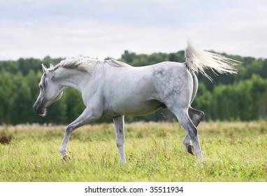 beautiful white arab stallion