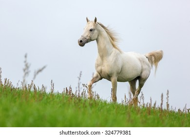 Beautiful white Arabian stallion running on blue sky background.