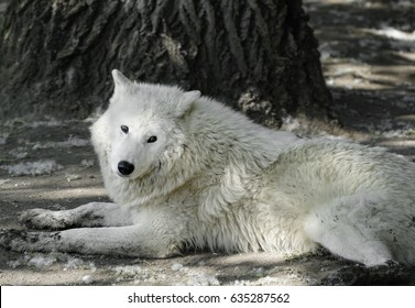 Beautiful white arctic wolf lying down and looking at the camera