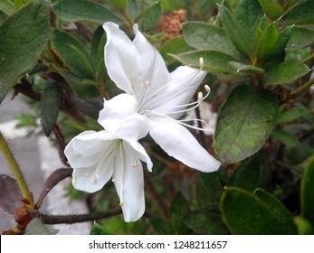 Beautiful white azaleas flower blossoming in the garden. Flowers Azalea Rhododendron in the Park or garden. White Azalea flower that bloom in the botanical garden of Bedugul Bali, Indonesia.