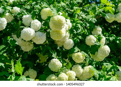 Beautiful white balls of blooming Viburnum opulus Roseum on dark green background. White Guelder Rose or Viburnum opulus Sterilis, Snowball Bush, European Snowball is a large, deciduous shrub