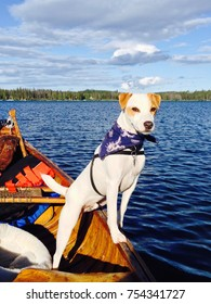 Beautiful White and Beige Long Legged Jack Russell Terrier Puppy Dog with Blue Bandanna in a Canoe on a Lake
