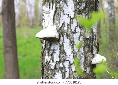 Beautiful white birch trees in spring in forest in good weather