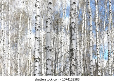 Beautiful white birches in spring in birch grove