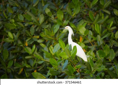 Beautiful white bird,heron, Snowy Egret Egretta thula roosting to overnight in mangrove tree,lit by evening light, green blurred mangrove leaves in background. White and green contrast.