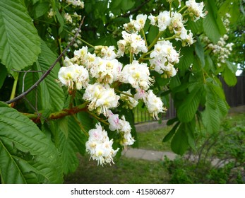 a beautiful white blossoming chestnut tree branch