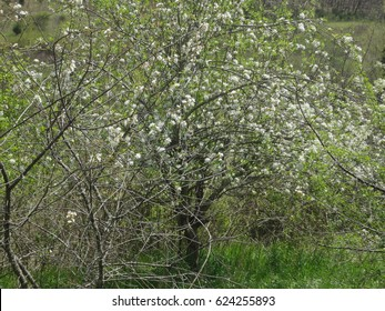 Beautiful white blossoms of a peach tree in Spring. East Tennessee, USA.