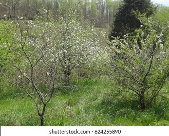 Beautiful white blossoms of peach trees in Spring. East Tennessee, USA.