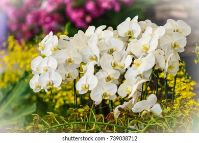 Beautiful White branch orchid flowers of Orchidaceae, Phalaenopsis, known as the Moth Orchid, abbreviated Phal in the horticultural trade. Phalaenopsis cultivar, possibly 'Aphrodite