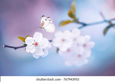Beautiful white butterfly and branch of blossoming cherry in spring at Sunrise on blue and pink background macro. Amazing elegant artistic image nature in spring, sakura flower and butterfly.