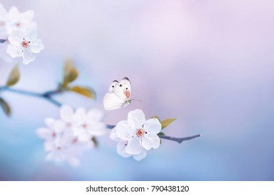 Beautiful white butterfly and branch of blossoming cherry in spring on blue and pink floral background macro. Amazing elegant artistic image nature in spring, sakura flowers, free space for copy
