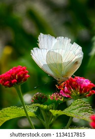 A beautiful white butterfly in a pretty garden enjoys nectar from a bright flower