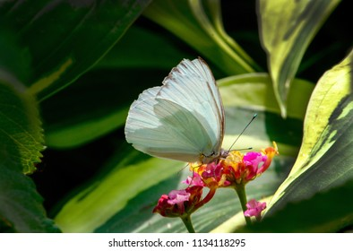 A beautiful white butterfly in a pretty garden enjoys a sip from colorful flowers
