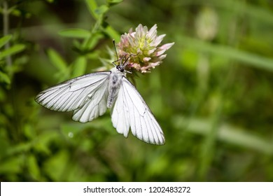 a beautiful white butterfly that populates the Florentine hills, while resting on a wild flower typical of the Italian countryside, photographed on the Florentine hills in Reggello Italy, July 2018