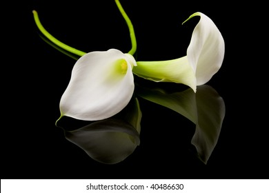 beautiful white Calla lilly over black background