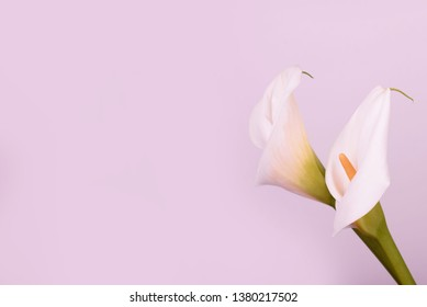 Beautiful white callas on a pink background. Beautiful flowers, a place for an inscription.