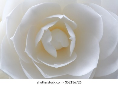 Beautiful white camellia flower