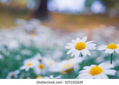 Beautiful white camomiles daisy flowers field on green meadow