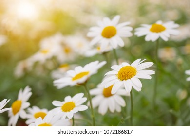 Beautiful white camomiles daisy flowers field on green meadow