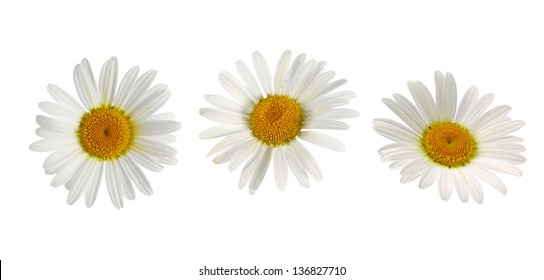 beautiful white camomiles isolated
