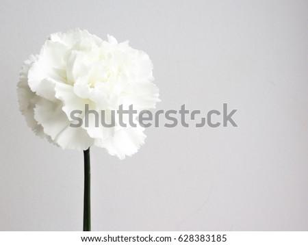 Beautiful white carnation flowers white flower stock photo edit now beautiful white carnation flowers white flower background mightylinksfo