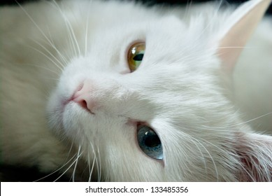 beautiful white cat with different color of eyes. close up