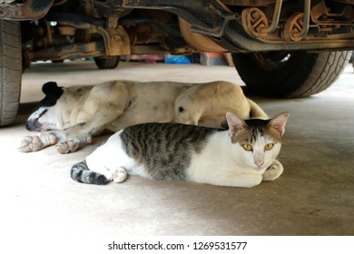 Beautiful white cat and white dog lie next to each other on cold concrete floor. Cats and dogs prefer to sleep under a car and  feel safer.They love shady cold places. Avoid high heat and humidity.