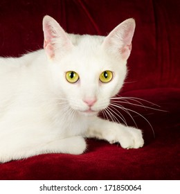 Russian White Cat Images Stock Photos Vectors Shutterstock