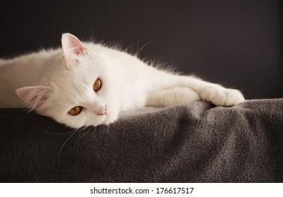 Adult White Persian Cat Ez Canvas