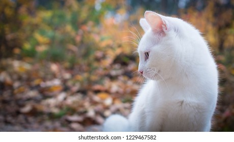 Beautiful white cat for a walk in the autumn forest.