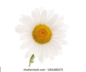 Beautiful white chamomile isolated on a white background.