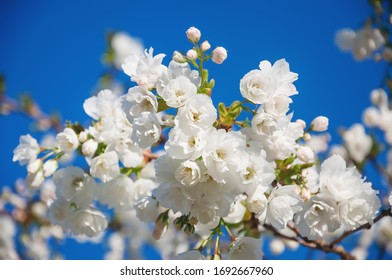Beautiful white cherry blossom  (Sacura) closeup against blue sky. Selective focus of  white sacura blooming  in spring time.