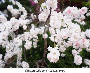 Beautiful white cherry blossom (yaezakura) blooming in spring season of Japan