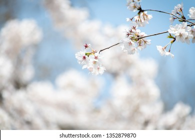 Beautiful white cherry blossoms blooming in a sunny day in spring.